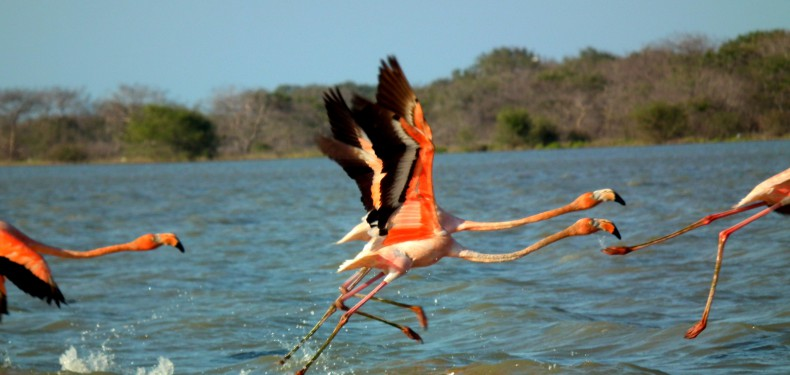 flamingos la guajira colombia