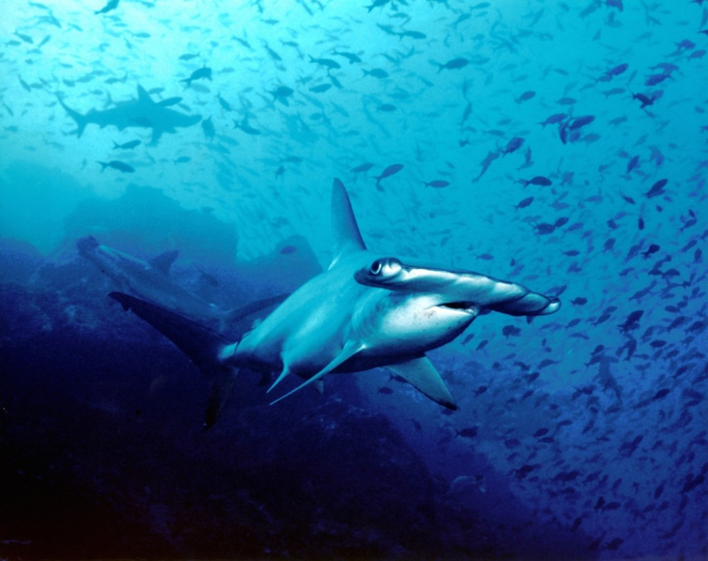 Hammerhead shark...imagine 500! (photo: Barry Peters)
