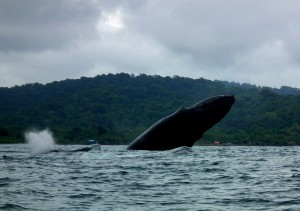 Breaching humpback whale in El Choco