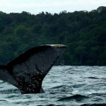 Whale-Watching Season in Colombia's Pacific