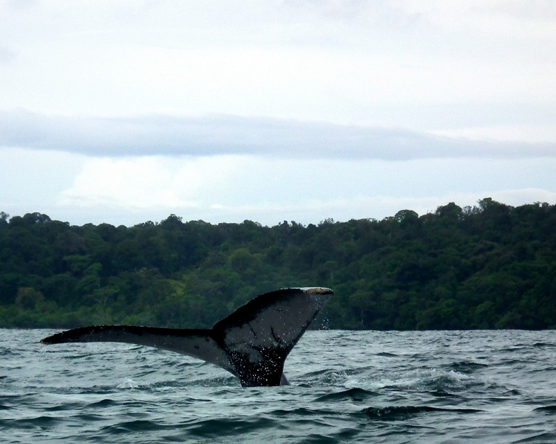 whale watching choco colombia