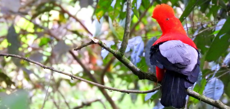 andean cock of the rock jardin colombia