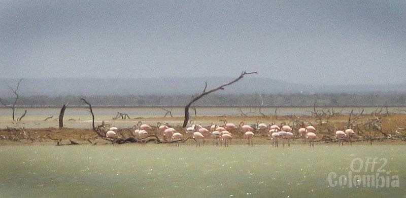 Flamingos in Colombia