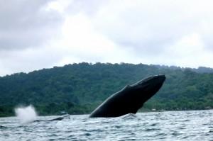 Humpback whale in the Chocó