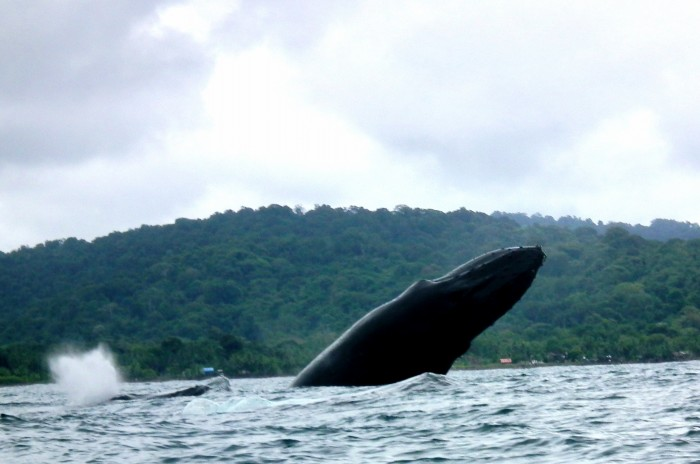 Humpback whale in the Chocó