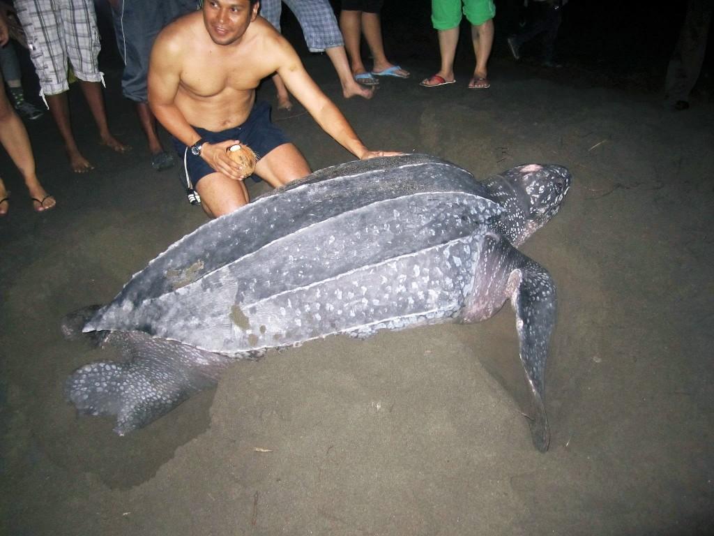 Leatherback sea turtle in Colombia (photo: Brigid Fox)