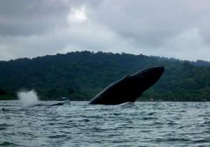 Breaching humpback whale in El Choco