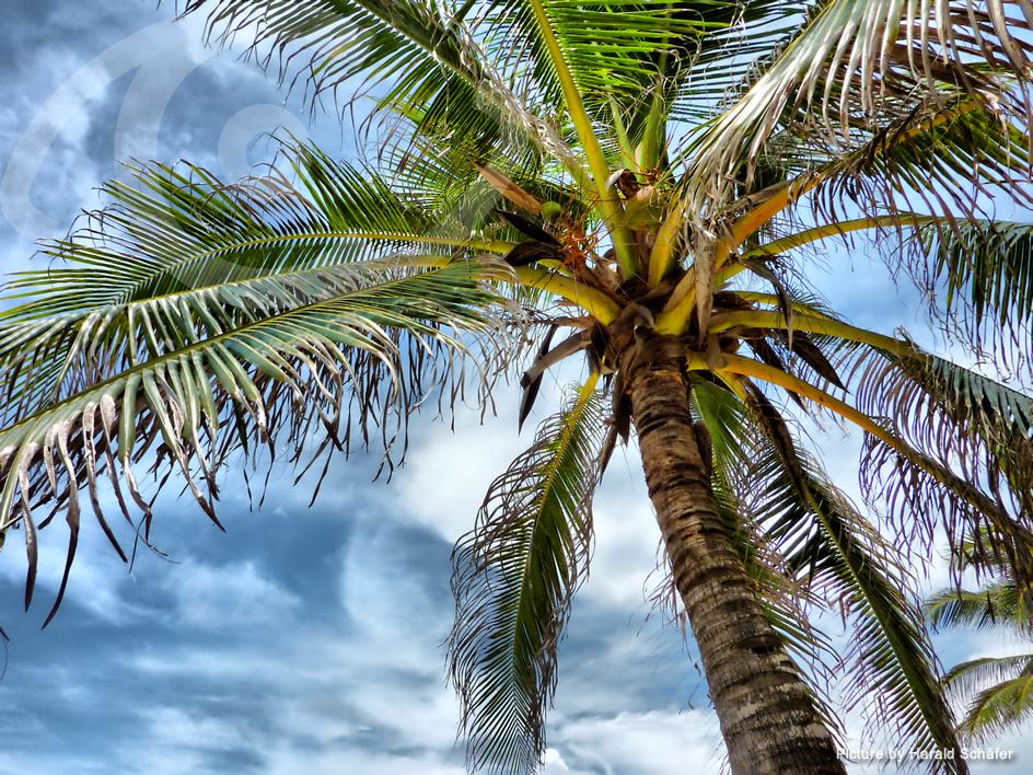 Caribbean palm tree, Cartagena