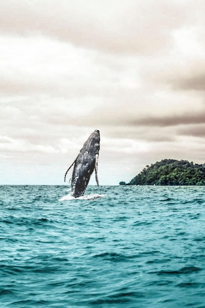 Isla Gorgbna, in the Colombian Pacific, is a great place to go whale-watching