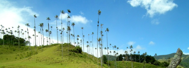 Cocora Wax Palms