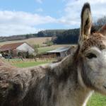 Alternative Colombian Easter: the San Antero Donkey Festival