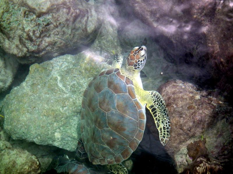 Sea turtle Colombia