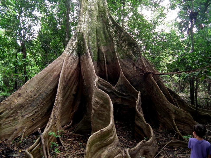 Giant Amazon Tree