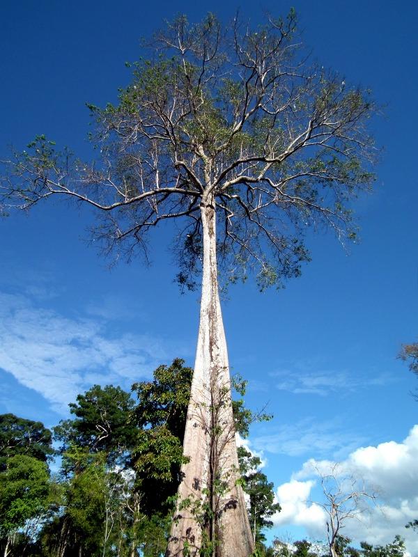 Tall tree Amazon