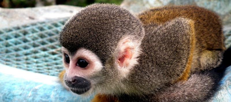 Titi Monkey Puerto Narino