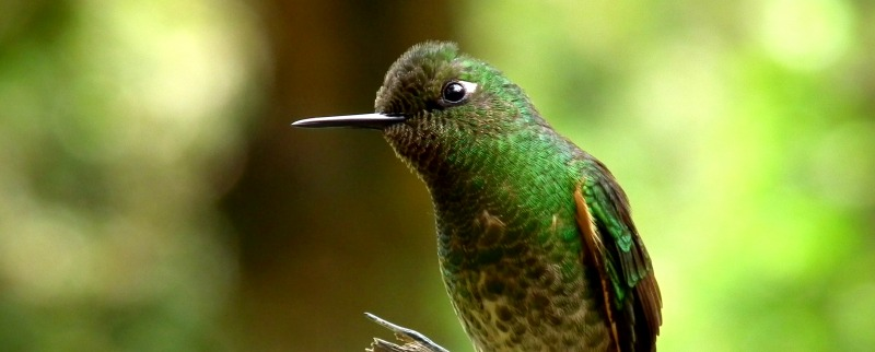 Buff-Tailed Coronet Hummingbird