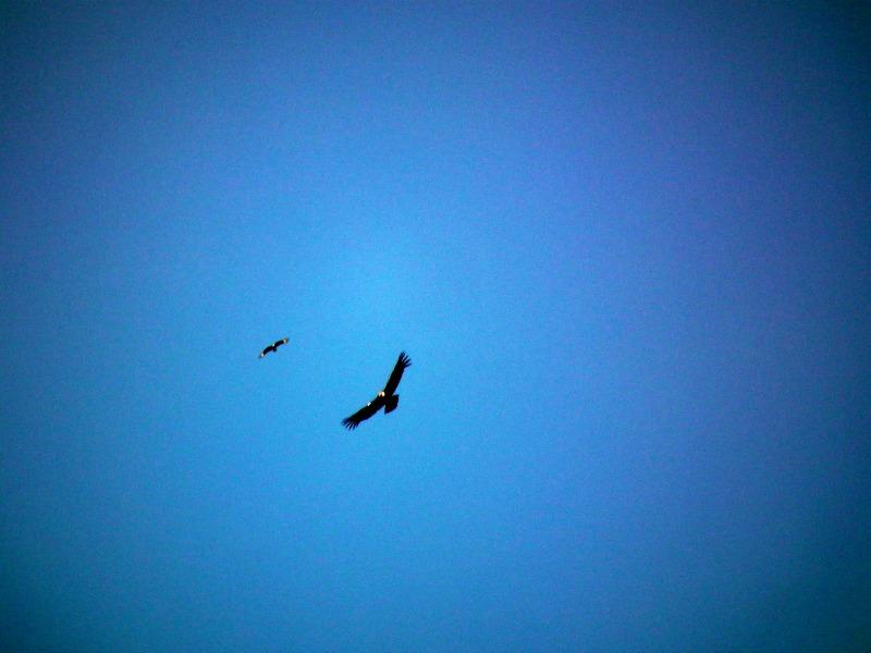 Andean Condor Colombia