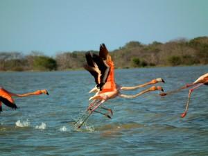 Flamingos La Guajira Colombia