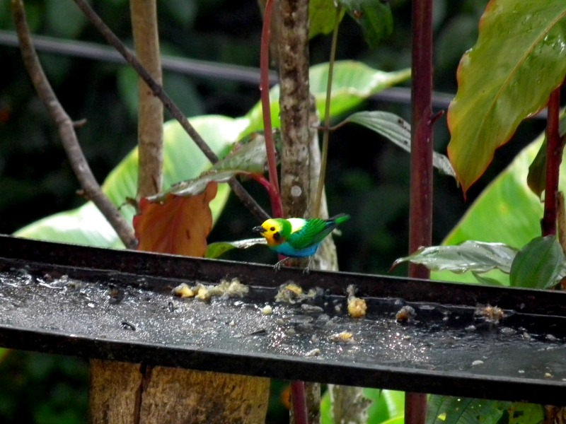 Multicolored Tanager Colombia