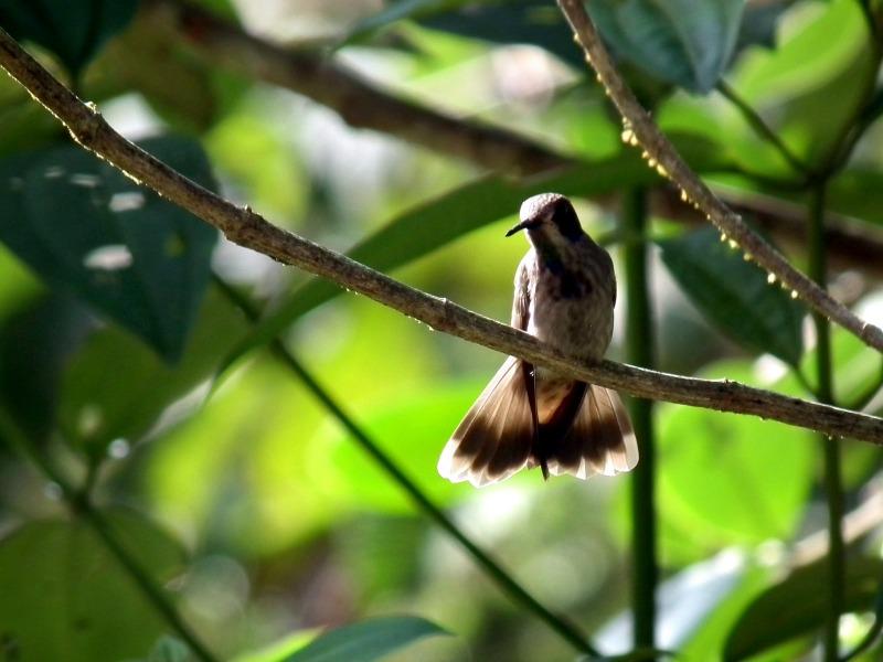 Brown Violetear Colombia