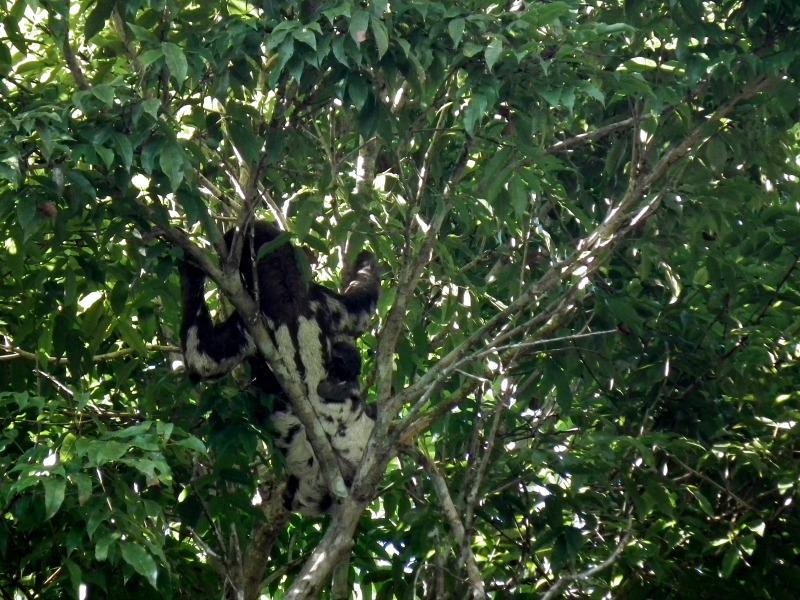 Amazon Sloth