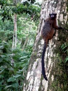 Tamarin Amazon