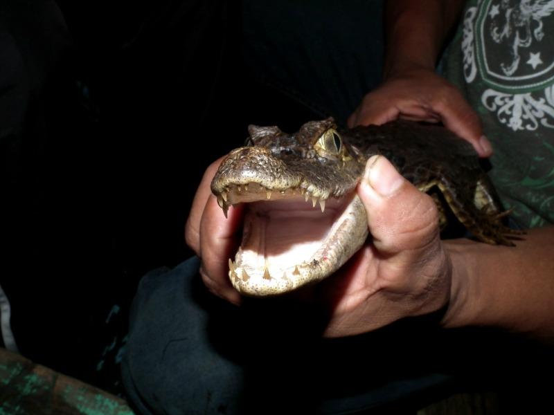 amazon caiman