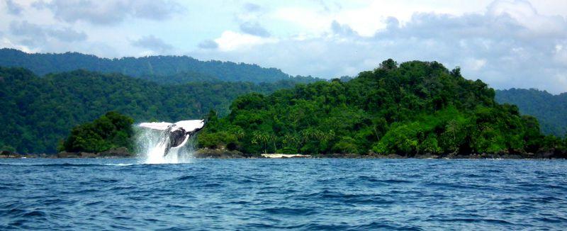 Humpback Whales Bahia Solano