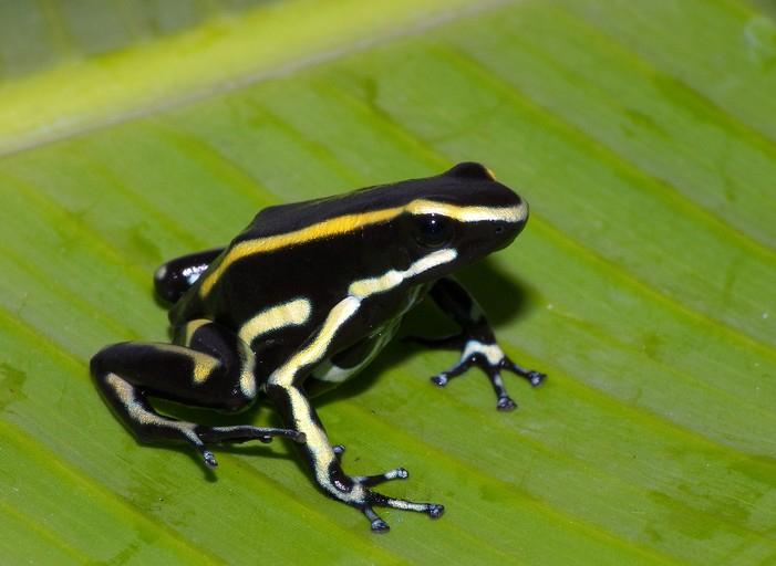 Dendrobates truncatus