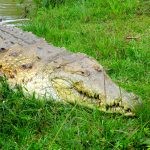 Wisirare Park: face-to-face with Colombia's largest crocodile in Casanare