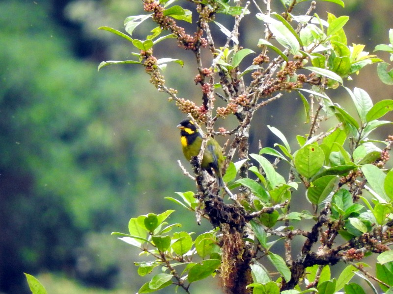 gold ringed tanager las tangaras colombia