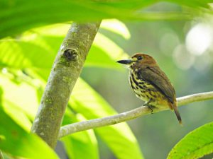 global big day colombia 2017monklet birding colombia